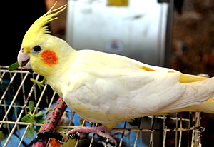pájaro mascota
