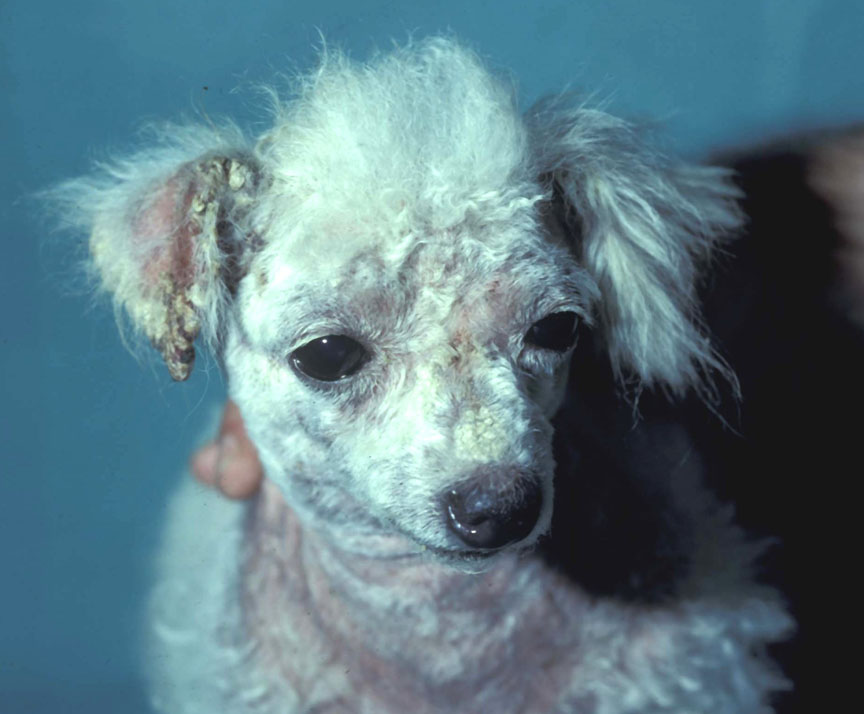 acariasis: Dog. There is marked alopecia, erythema, crusting, and excoriation of the face, ears, and ventral neck.