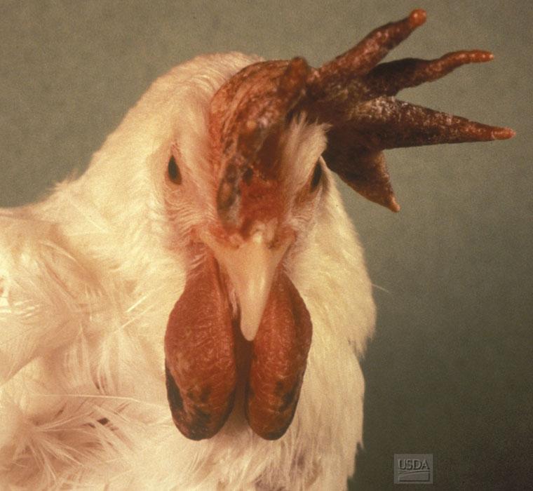 Avian Influenza « Disease Images « CFSPH