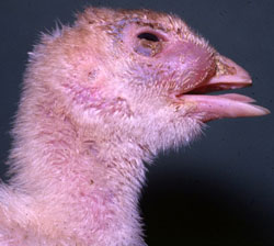 Avian Mycoplasmosis: Turkey, head. Purulent sinusitis.