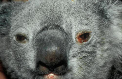 Chlamydiosis (Mammalian): Koala, eye. Reddened conjunctiva with a focal erosion and serous exudate.