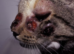 Cryptococcosis: Cat. There are multiple foci of ulcerative dermatitis; the rostral lesion likely resulted from extension of cryptococcal rhinitis through the facial bones.