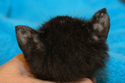 Dermatophytosis: Cat. There is alopecia of the ears due to dermatophytosis and lice eggs on the hair surface.
