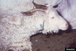 Heartwater: Goat. The neck is extended, consistent with dyspnea.