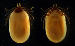 <i>Ixodes ricinus</i>: Tick, arthropod. Can transmit agents of babesiosis, louping ill, and other diseases.