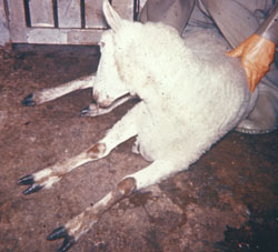 Louping Ill: Sheep. Sheep with neurologic deficits that is unable to stand.
