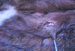 Lumpy Skin Disease: Bovine, skin. Removal of the necrotic center (sitfast) of a papule.