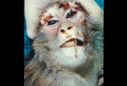Monkeypox: Rhesus macaque, skin. There are multiple hemorrhagic papules on the forehead and eyelids.