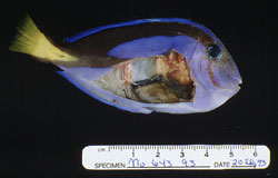 Mycobacteriosis: Fish, whole body. Internal organs with multifocal tan to white coalescing granulomas.