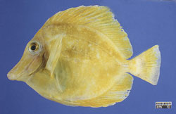 Mycobacteriosis: Fish, whole body. Multifocal surface white granulomas; thin body condition.
