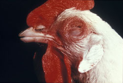 Newcastle Disease: Avian, skin. There is a marked hemorrhage of the comb, wattle, and adjacent skin.