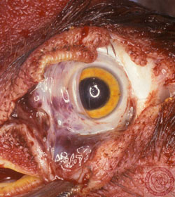 Newcastle Disease: Avian, eye. Conjunctival hemorrhage is most severe in the nictitans.