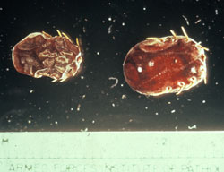 <i>Rhipicephalus (Boophilus) annulatus</i>: Cattle tick, arthropod. Known to transmit babesiosis and anaplasmosis.
