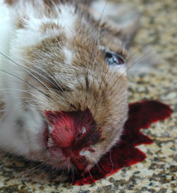 Rabbit Hemorrhagic Disease: Rabbit. Severe epistaxis.