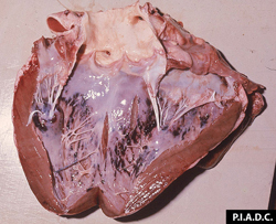Rift Valley Fever: Sheep, heart. The ventricular endocardium contains many hemorrhages.