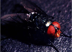 Screwworm Myiasis: Screwworm fly. The head of the adult fly is red-orange.