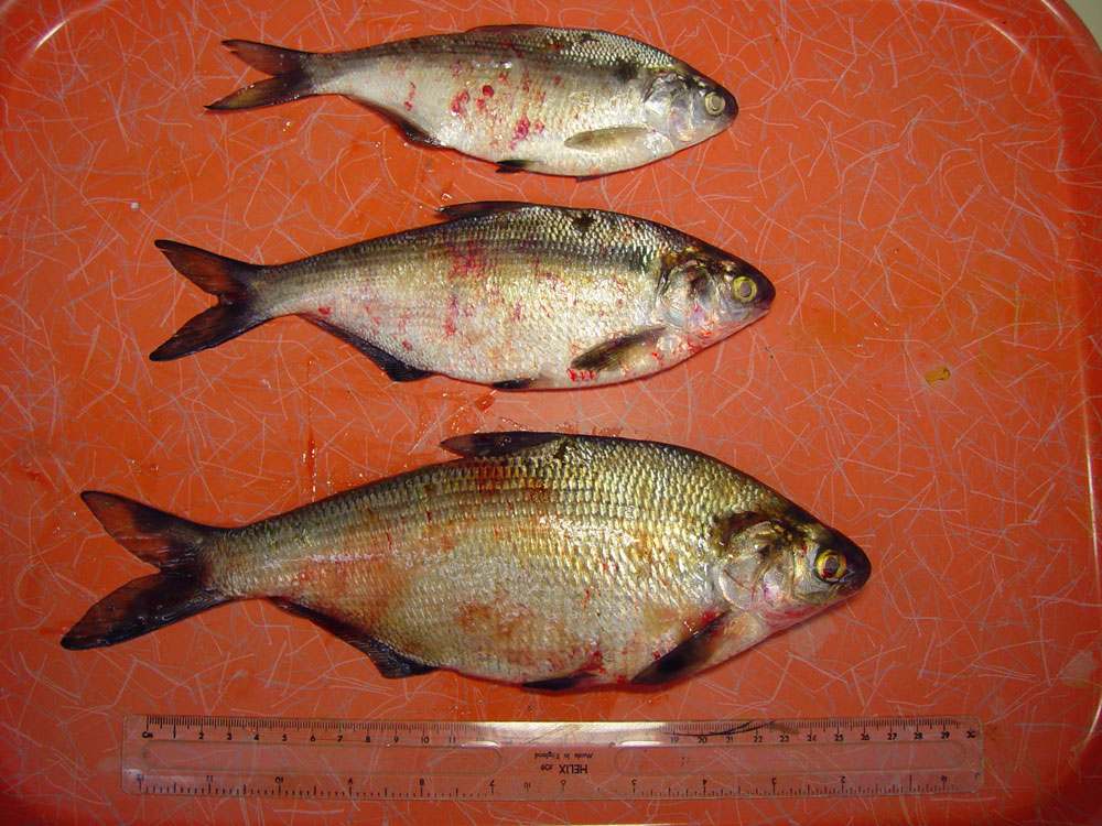 viral-hemorrhagic-septicemia: Fish, whole body. The external surface of the fish (gizzard shad) contain numerous ecchymotic hemorrhages.