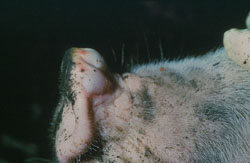 Vesicular Stomatitis: Pig, skin. There is a large vesicle (bulla) on the dorsal snout.